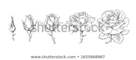 Conjunto contorno rosas pintado arte branco Foto stock © blackmoon979