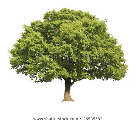 Sole oak Stock photo © simply