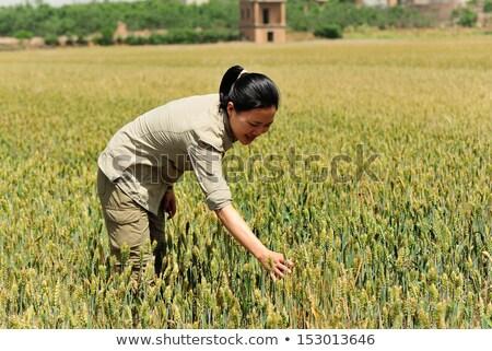 Kadın çiftçi eller buğday tarla Stok fotoğraf © stevanovicigor