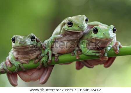 cute isolated green tree frog Stock photo © taviphoto