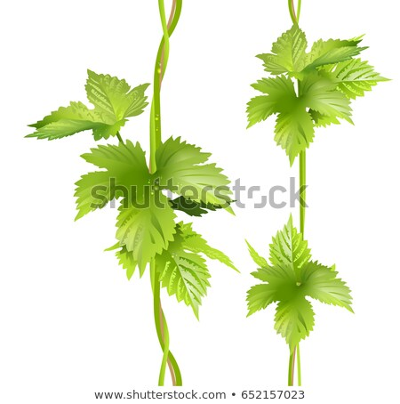 Green vertical vine liana leaves hops Stock photo © orensila