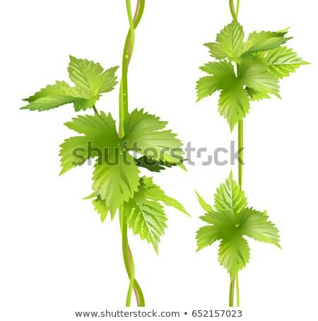 senza · soluzione · di · continuità · vite · verde · foglia · frutta · sfondo - foto d'archivio © orensila