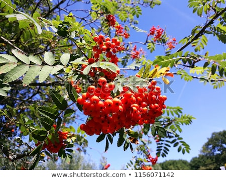 Sorbus aucuparia, rowan or mountain-ash with orange berries in summer Stock photo © Virgin