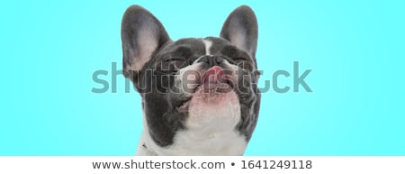 curious french bulldog with tongue exposed  Stock photo © feedough