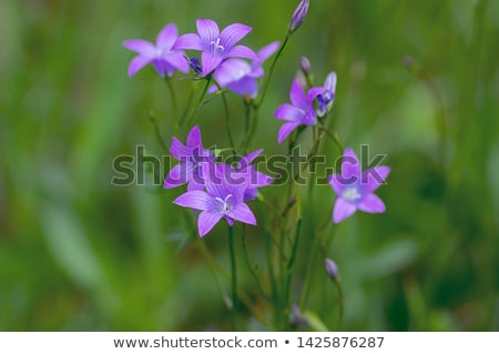 Group of Campanula patula spreading bellflower in bloom on the meadow Stock photo © Virgin