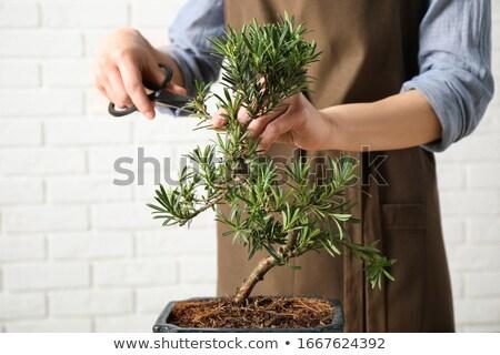 женщину бонсай дерево природы ножницы роста Сток-фото © IS2