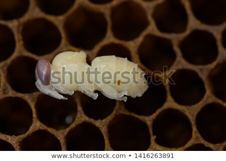 A pupa on white background Stock photo © bluering