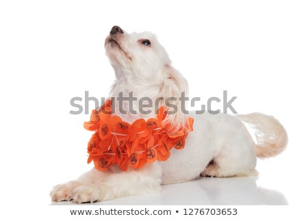 cute white bichon wearing orange lei looks up to side Stock photo © feedough