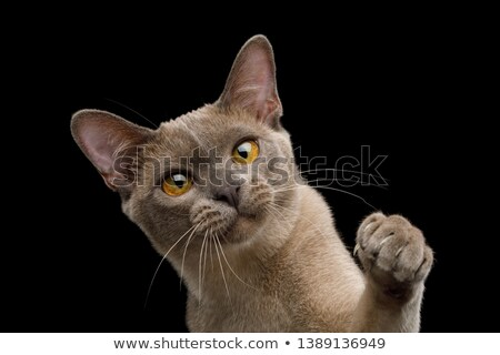 playful burmese cat sits with paw raised and looks up Stock photo © feedough