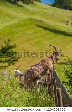 Chèvre alpine prairie herbe verte fleurs clôture Photo stock © boggy
