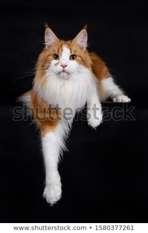 cute blue tabby maine coon cat kitten isolated on black background stock photo © catchyimages