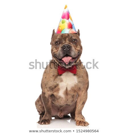 American bully puppy wearing bowtie and birthday cap sitting Stock photo © feedough