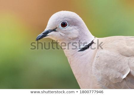 bianco · piccione · sedersi · legno · amore - foto d'archivio © juhku