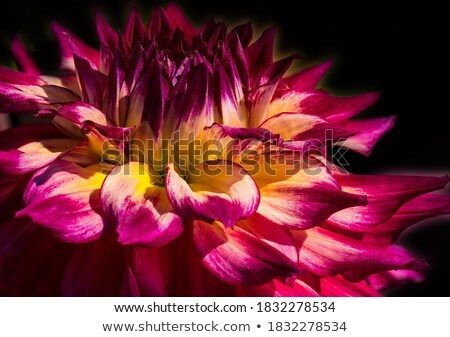 Geel · dahlia · bloem · bloesem - stockfoto © koufax73