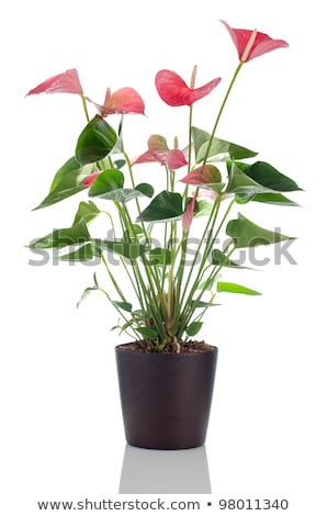 Beautiful Anthedesia Anthurium Foto stock © homydesign