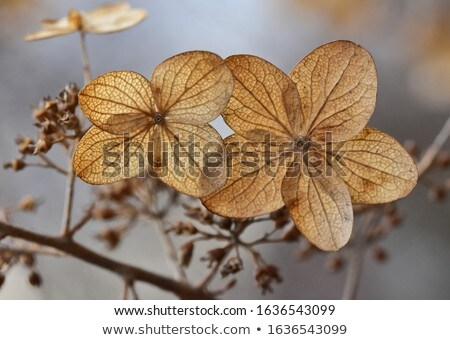 withering flowers  of  a garden hydrangea  Stock photo © vavlt