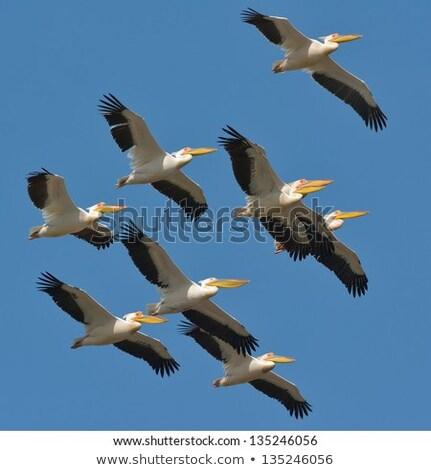 flock of pelicans in the  sky Stock photo © meinzahn