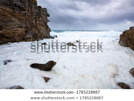 Fur seal comes ashore among wild seas big swells Stock photo © lovleah