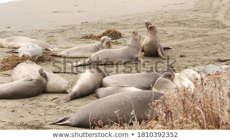 Stock photo: Male Sealion At The Beach