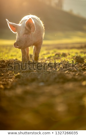 Pigs eating on a meadow in an organic meat farm  Stock photo © lightpoet