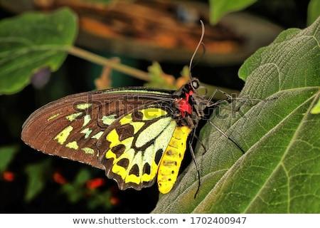 Schmetterling Königin nackt Mädchen Schmetterlinge weiß Stock foto © dolgachov