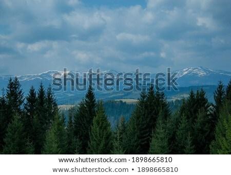 Kék lucfenyő fedett hó tél karácsony Stock fotó © Valeriy