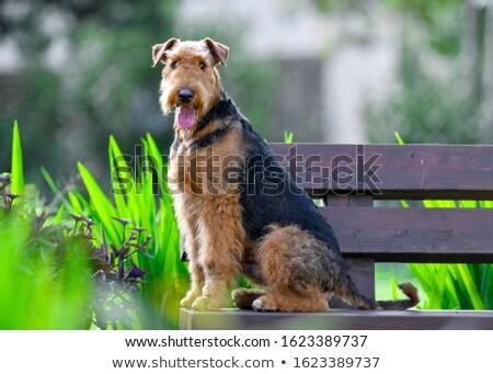 Airdale Terrier portrait Stock photo © vauvau
