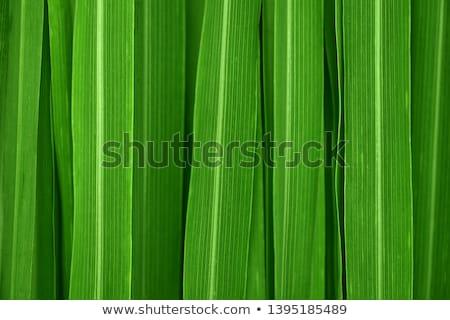 Fresh green lemongrass Stock photo © szefei