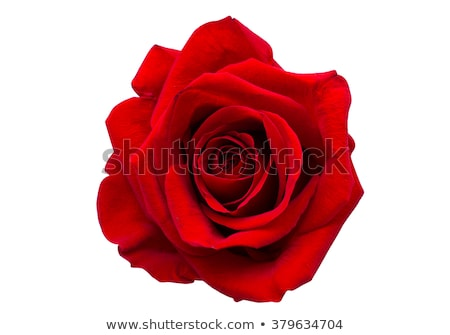 Belo rosa vermelha isolado branco flor folha Foto stock © tetkoren