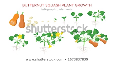 Set of stages of life of a agricultural plant orange pumpkin isolated on white background. Paper pac Stock photo © Lady-Luck