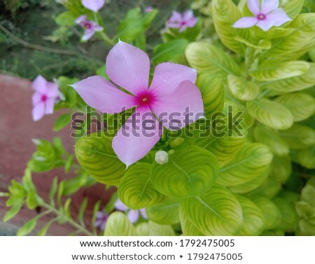 Periwinkle Flower Stock photo © bendicks