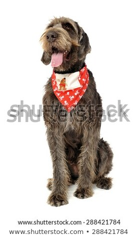 wired hair german pointer sitting in a white studio stock photo © vauvau