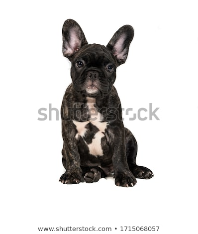 close up of cute french bulldog sitting Stock photo © feedough
