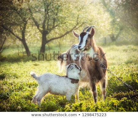 Young goat with mother Stock photo © macropixel