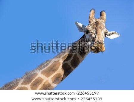 giraffe against blue sky stock photo © kirill_m