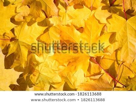 Full frame bos oranje najaar esdoorn bladeren Stockfoto © Qingwa