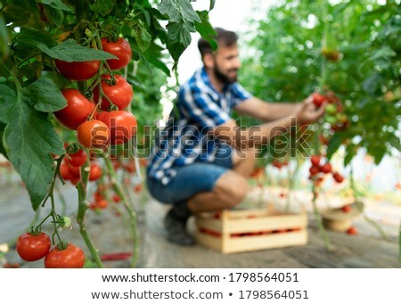 Man Working As Farmer Holding Tomatoes In Greenhouse Stock photo © diego_cervo