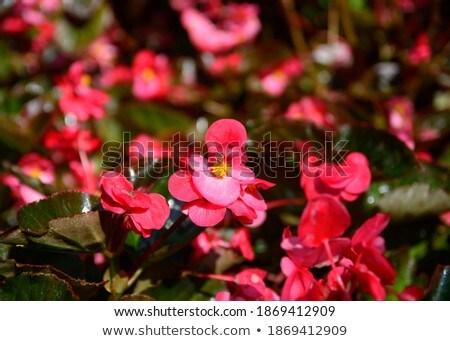 Oleander ornamental plants agriculture  Stock photo © lunamarina