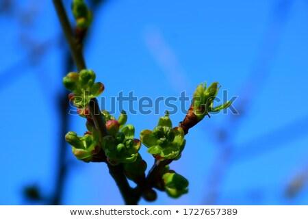 Cerejas cereja crescente rápido cedo primavera Foto stock © funix