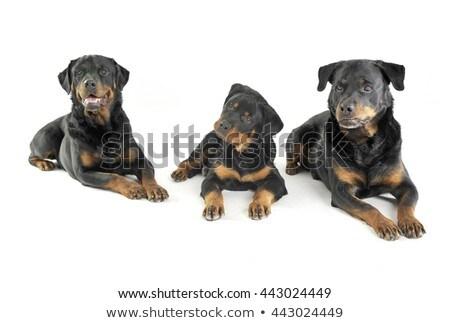 три белый студию полу собака красоту Сток-фото © vauvau