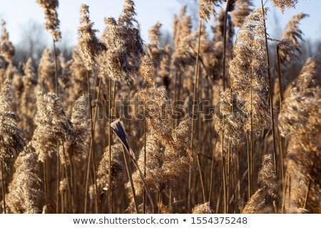 High dry reed Stock photo © IMaster