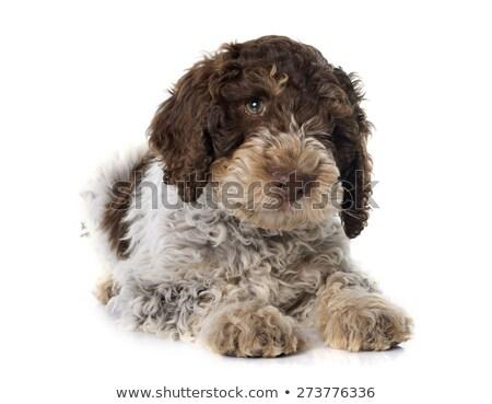 Romagna Water Dog Puppy  Stock photo © CaptureLight