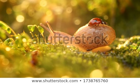 Close-up wildlife of a snail and ladybug in the sunset sunlight. Stock photo © cookelma