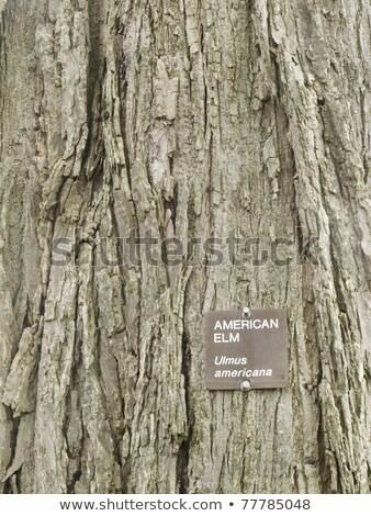 アメリカン ニレ 樹皮 画像 成熟した ストックフォト © pancaketom