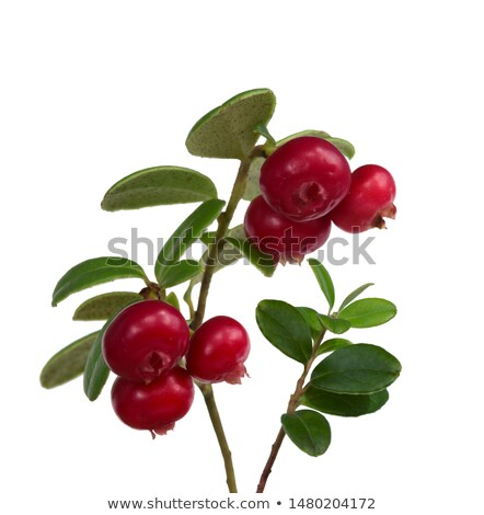 branches of the cowberry insulated stock photo © ruslanomega