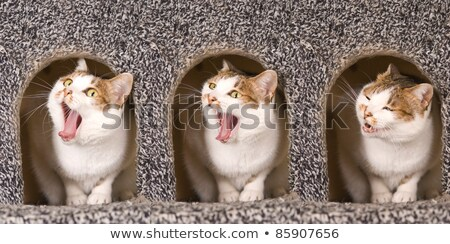 cat is yawning continuous action stock photo © ansonstock