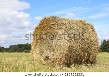 Sense of peace - wheat and blue sky Stock photo © lightkeeper