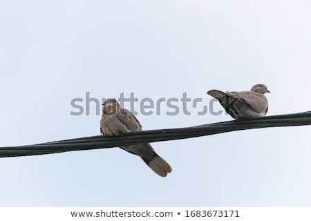 pigeons on the wire stock photo © milosbekic