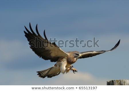 Falcão postar natureza pássaro país Canadá Foto stock © pictureguy