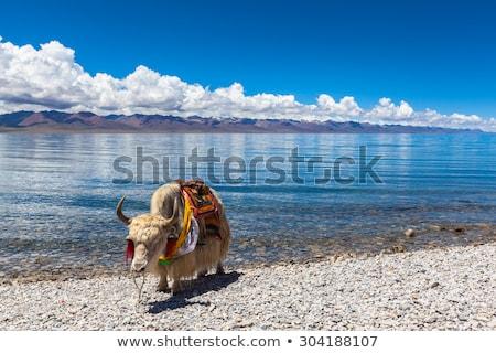 Tibetan white yaks at lakeside Stock photo © bbbar